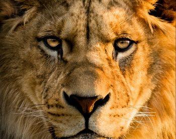 wild-animal_screenwriting